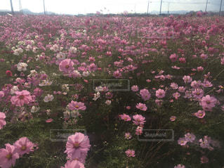 花,秋,屋外,ピンク,コスモス,紫,鮮やか,カラー,草木