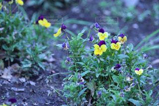 公園,花,屋外,緑,紫,黄色,鮮やか,草,すみれ