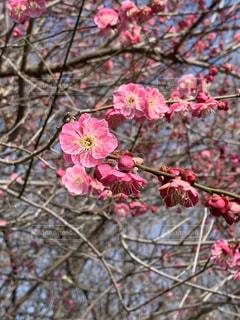 花,春,屋外,ピンク,梅,樹木