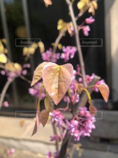 花,ピンク,葉,ハート,ハナズオウ