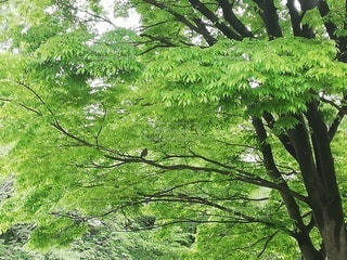 鳥,屋外,樹木,新緑,椋,戸田川緑地公園