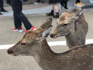 動物,屋外,赤ちゃん,鹿,地面,奈良