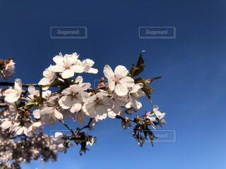 空,花,春,青い空,桜の花,チェリーブロッサム