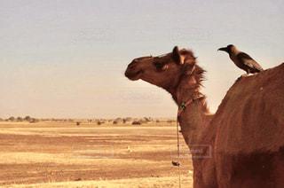 動物,鳥,砂浜,旅行,砂漠,ラクダ,インド