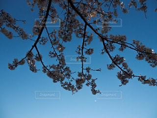 空,花,春,桜,森林,夜空,屋外,青空,枝,青い空,葉,夜桜,樹木,景観,草木,桜の花,さくら,ブルーム,ブロッサム