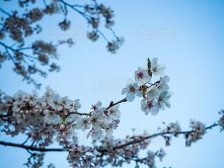 空,花,春,屋外,青空,枝,青い空,樹木,景観,桜の花,日中,さくら,ブルーム,ブロッサム