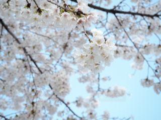 花,春,森林,屋外,青空,枝,青い空,樹木,景観,草木,桜の花,日中,さくら,ブロッサム