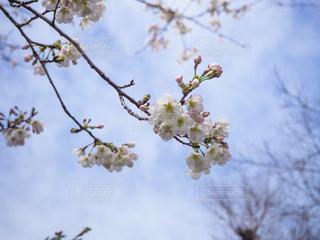 空,花,春,森林,屋外,青空,枝,青い空,葉,樹木,景観,草木,桜の花,さくら,ブルーム,ブロッサム