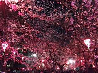 夜桜の写真・画像素材[3187861]