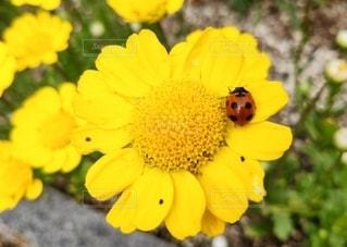 花とてんとう虫の写真・画像素材[3571833]