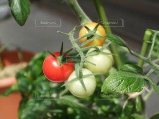 食べ物,庭,赤,かわいい,葉,ガーデニング,トマト,野菜,食品,グリーン,家庭菜園,プチトマト,食材,草木,フレッシュ,ベジタブル,4つ