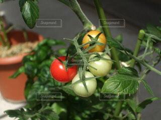 食べ物,庭,赤,ガーデニング,トマト,野菜,食品,グリーン,家庭菜園,プチトマト,食材,草木,フレッシュ,ベジタブル,4つ