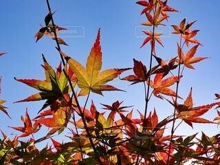 もみじと秋の空の写真・画像素材[3799200]