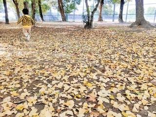 イチョウの葉の落ちている公園を走る男の子の写真・画像素材[3896067]