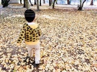 イチョウの絨毯の上に立つ小さな男の子の写真・画像素材[3896066]