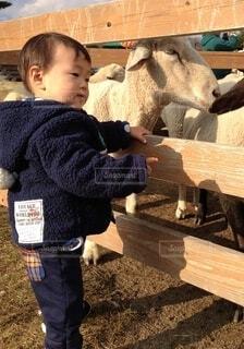 ひつじの前に立っている小さな男の子の写真・画像素材[3961075]