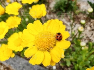 黄色い花のクローズアップの写真・画像素材[4317442]