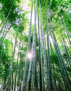 竹林の写真・画像素材[4408181]