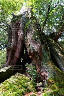 杉の写真・画像素材[3193958]