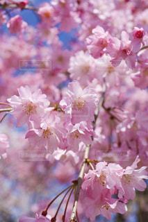 花,春,景色,鮮やか,草木,桜の花,さくら,ブロッサム