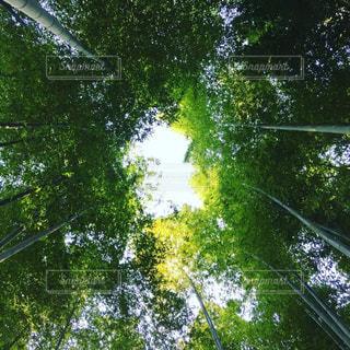 竹林を見上げたらの写真・画像素材[3194356]