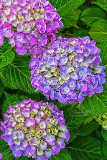 紫色の紫陽花の写真・画像素材[3393300]