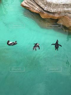 動物,緑,水族館,水面,ペンギン,泳ぐ,岩,遊ぶ,グリーン,三羽