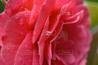 花,雨,赤,バラ,花びら,雫,草木,クローズ アップ,フローラ,液滴