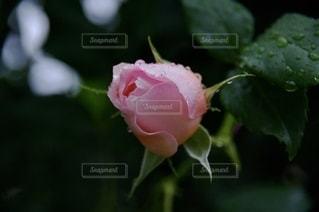 花,雨,ピンク,バラ,花びら,蕾,雫,草木,ブルーム,フローラ