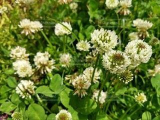 花,屋外,シロツメクサ,草木,フローラ