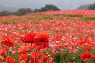 花,花畑,屋外,赤,景色,草,旅行,ポピー,草木
