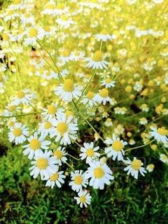 カモミール花畑の写真・画像素材[3211080]