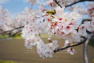 公園,花,春,景色,満開,樹木,桜の花,さくら