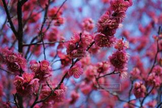 花,春,ピンク,赤,梅,枝,山,鮮やか