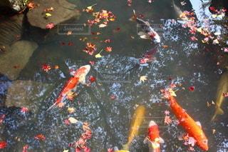 自然,秋,紅葉,水面,池,錦鯉,おでかけ,鯉,ニシキゴイ