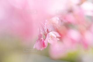 花,桜,ぼかし,草木,ブルーム,ブロッサム