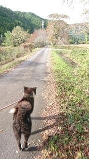 犬,動物,屋外,後ろ姿,散歩,秋田犬