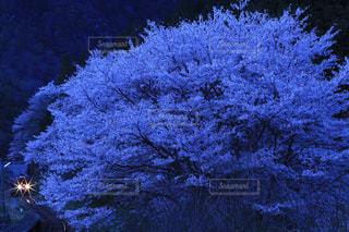 自然,花,桜,屋外,景色,樹木,夕景,サンセット,草木,宵闇,鉄道風景写真,長良川鉄道