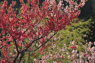 空,春,桜,緑,新緑,花桃,日中
