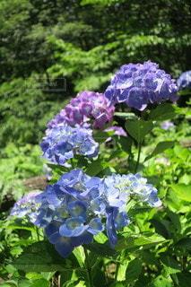 花,緑,青,紫,樹木,紫陽花,草木,ガーデン
