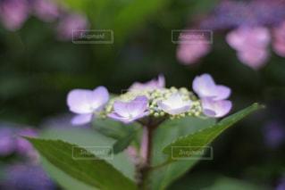 花,あじさい,景色,紫陽花,草木,アジサイ