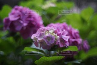 花,あじさい,景色,花びら,紫陽花,草木,アジサイ