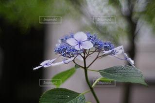 花,春,あじさい,紫陽花,草木,アジサイ