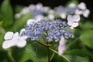 花,春,緑,あじさい,景色,紫陽花,草木,アジサイ