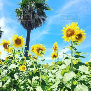 ヤシの木に囲まれた黄色い花の写真・画像素材[3251587]