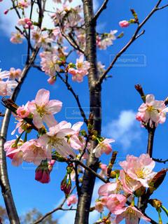 空,花,春,桜,青空,桜の花,さくら,ブロッサム