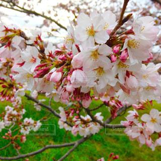 花,春,お花見,昭和記念公園,桜の花,さくら,ブロッサム