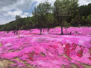 芝桜の写真・画像素材[3194625]