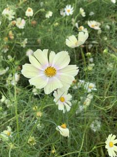 公園,花,屋外,緑,白,コスモス,黄色,花びら,可愛い,秋桜,グラデーション,草木