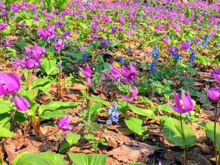 カタクリの花の写真・画像素材[3212256]